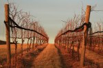 """Vineyards in Winter"" by Mary Kosar"